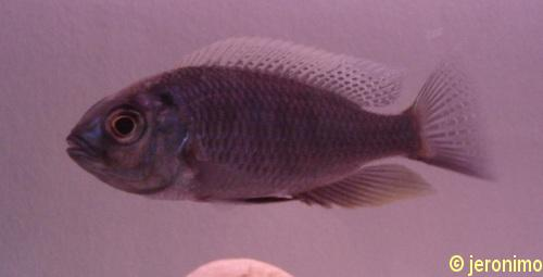 C. chrysonotus, dominant (essai sans flash)
