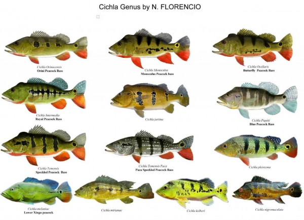 different Cichla species.jpg