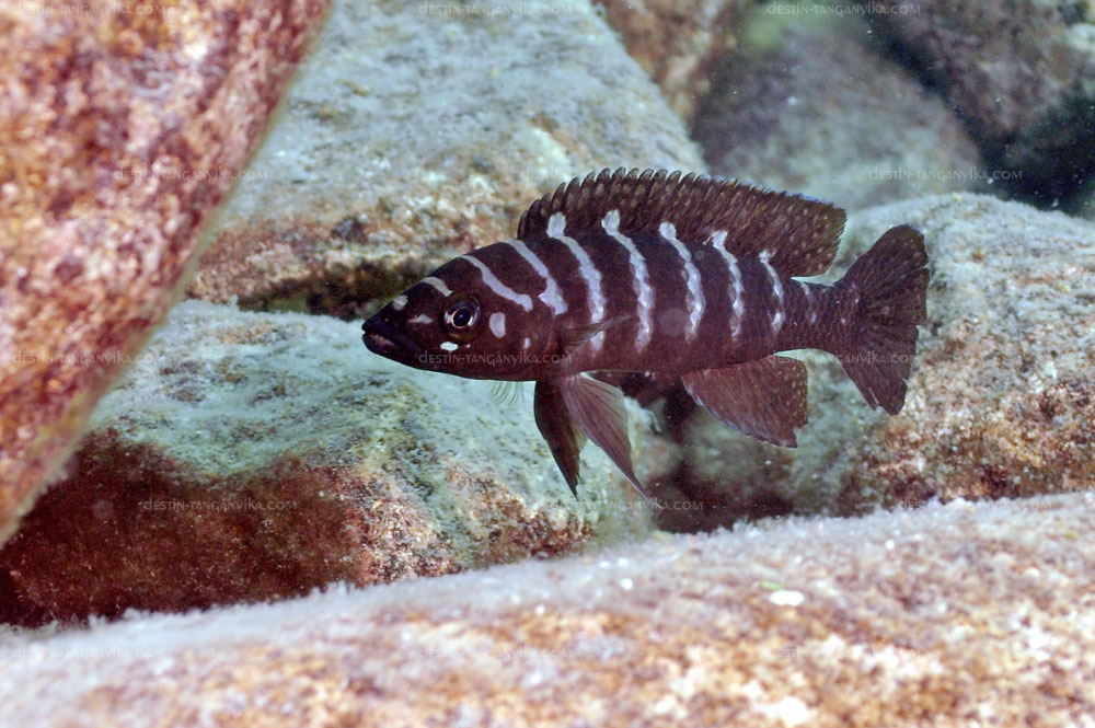 Neolamprologus cylindricus à Lupita.