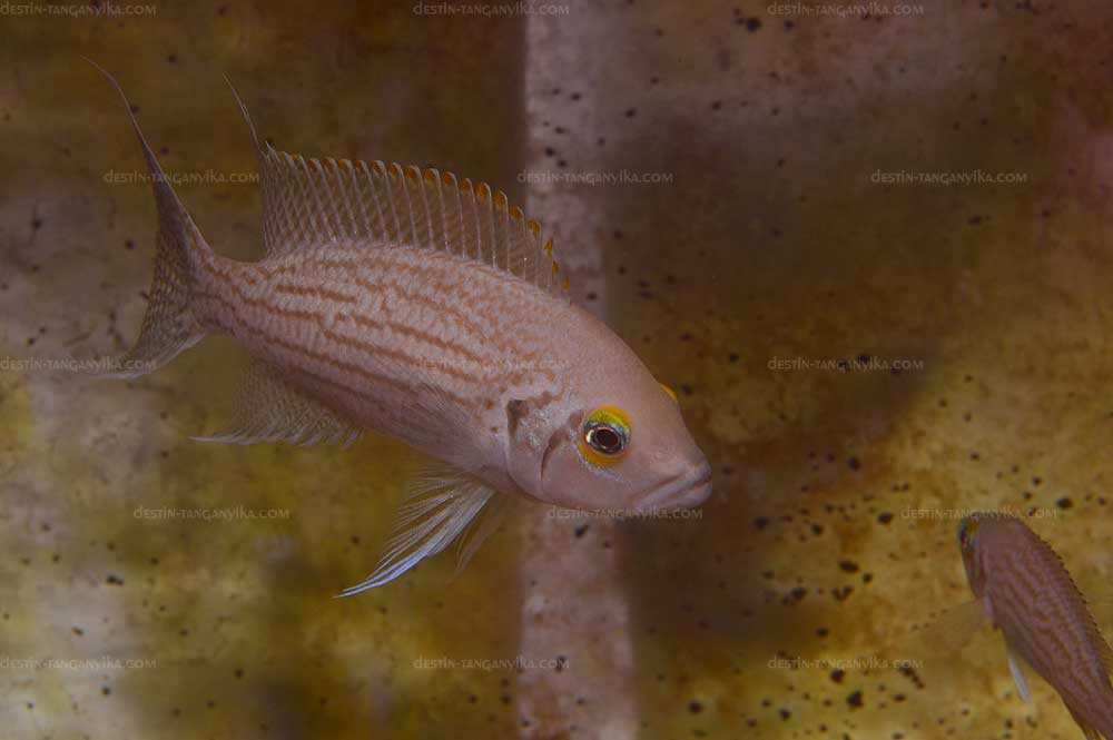 Neolamprologus olivaceous.