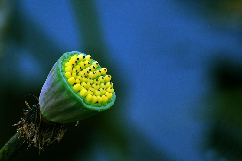 Lotus (fruit).