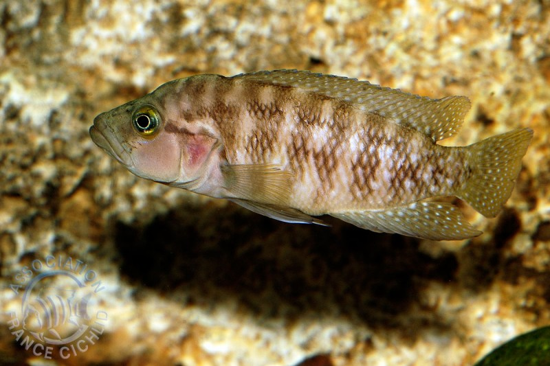 neolamprologus-obscurus-afc.1.jpg